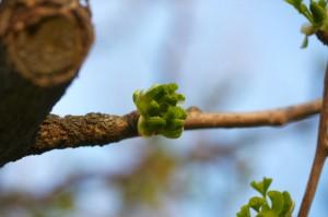Маленькі листочки у бруньці «зберігаються» скрученими...