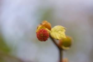 Цвіте платан східний